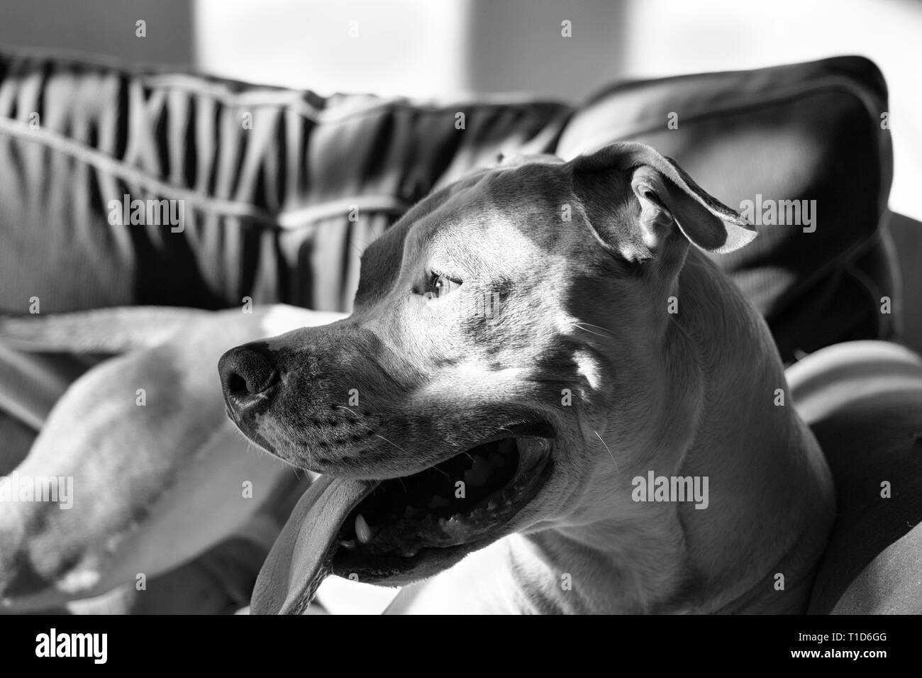 A mixed breed pit bull (Canis lupus familiaris)  sits on a couch in dappled shadows, his tongue lolling. - Stock Image