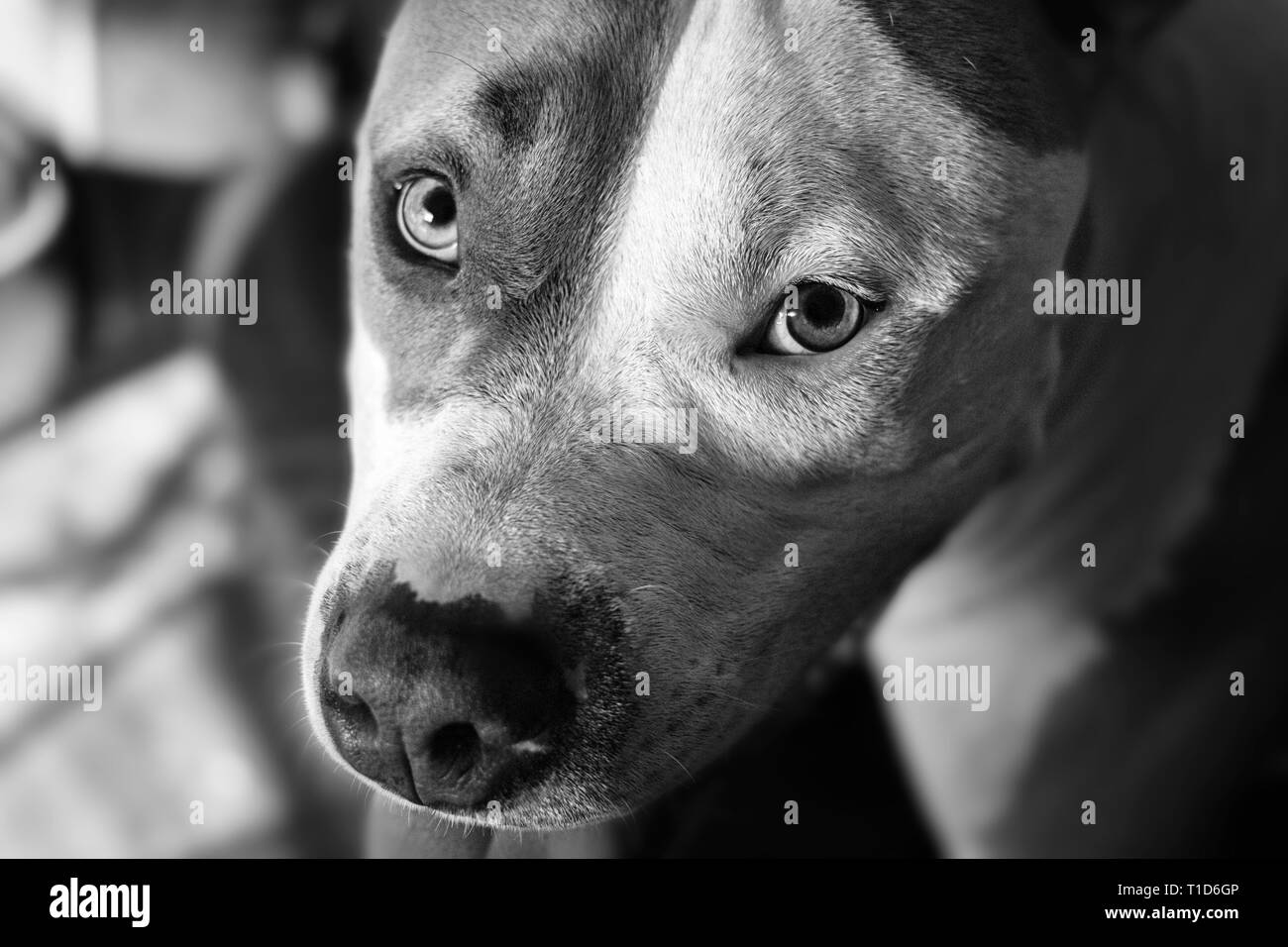 A mixed breed pit bull (Canis lupus familiaris) looks at the camera with loving eyes. - Stock Image