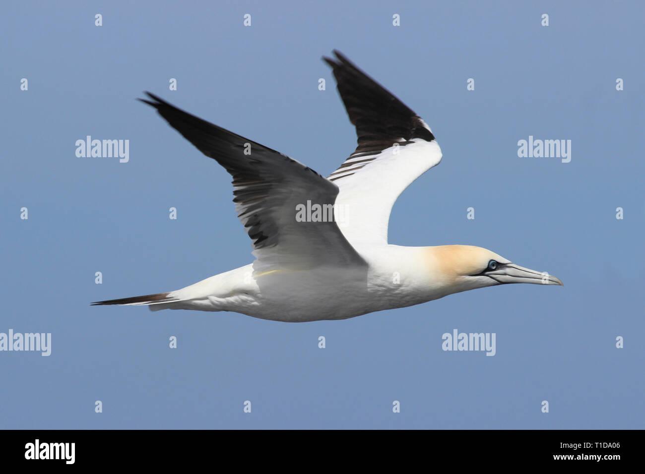 Northern Gannet Morus bassanus In Flight, Rockall Trough, Atlantic Ocean - Stock Image