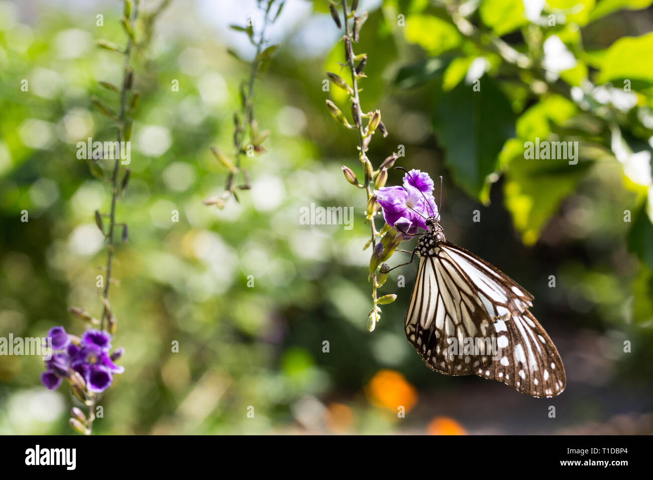 splash of color with  brown butterfly close-up on a flower with purple color - Stock Image