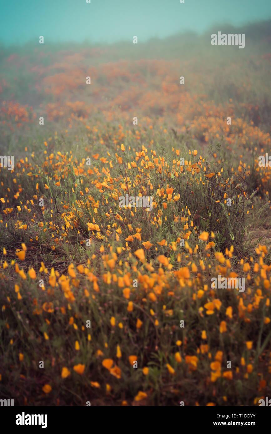 Wildflower super bloom in Lake Elsinore, California spring 2019 - Stock Image