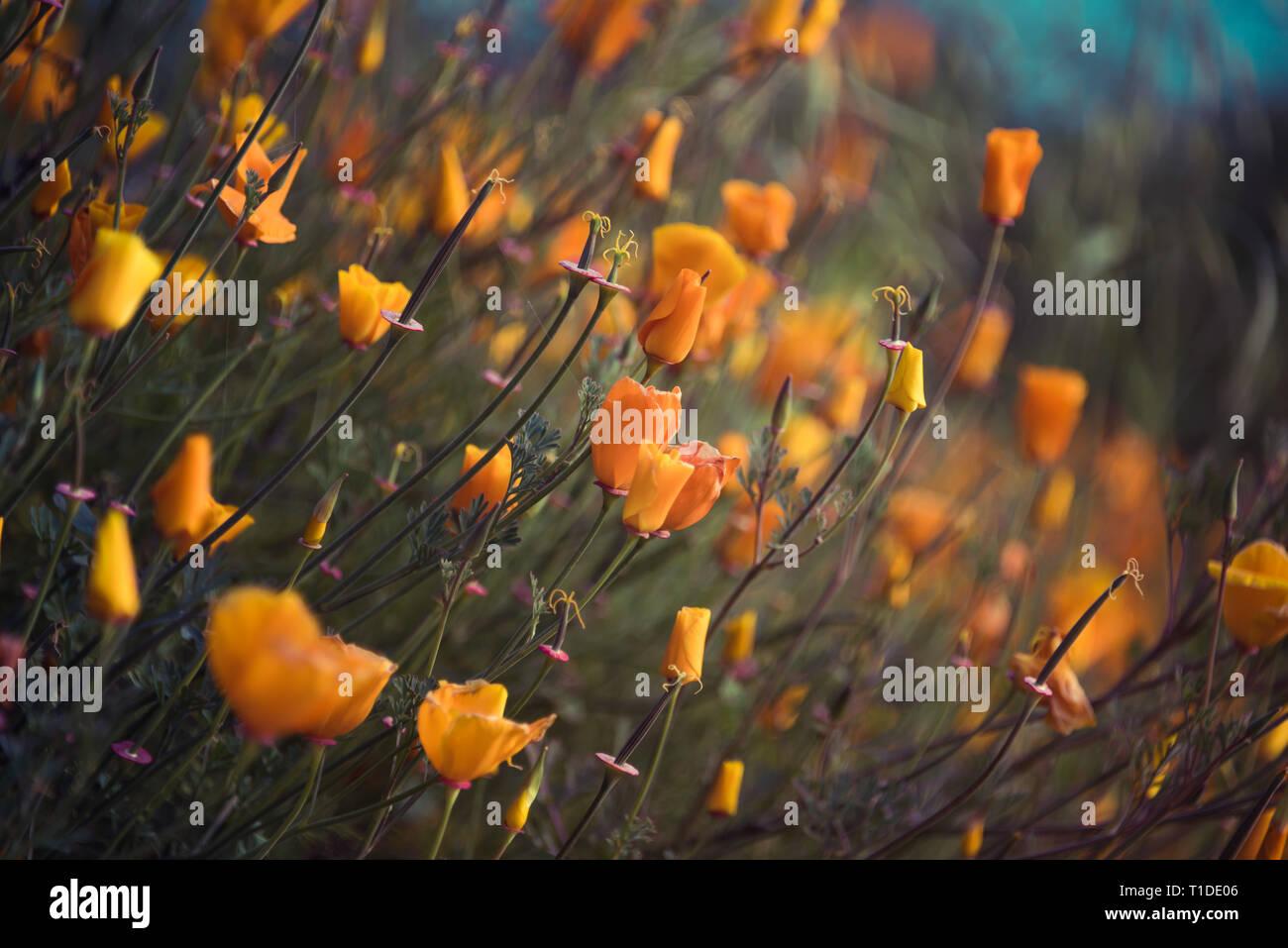 Wildflower super bloom in Lake Elsinore, California spring 2019 Stock Photo