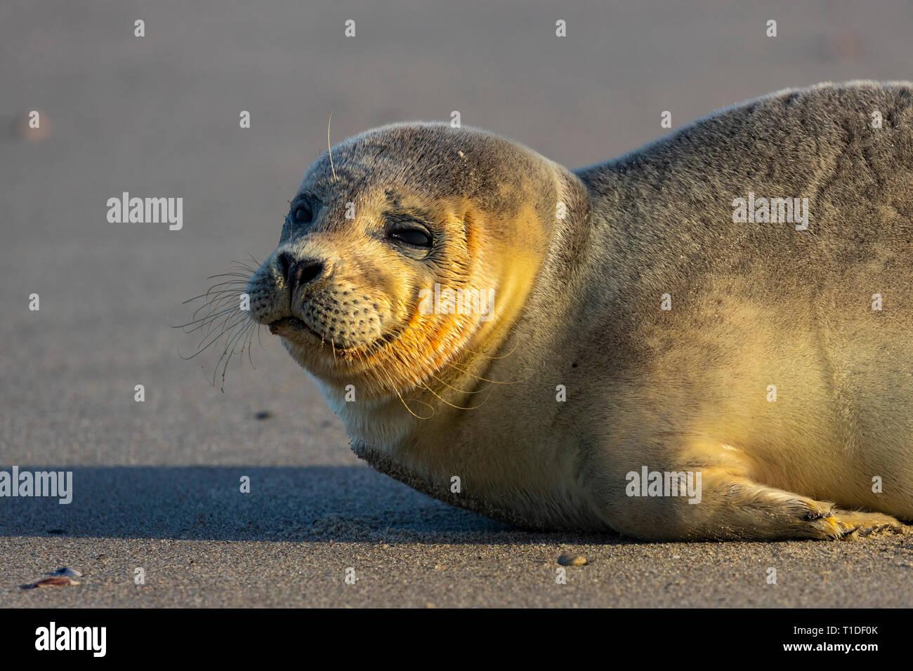 Nordseeinsel Langeoog,  Ostfriesland, Niedersachsen, junger Seehund, am Strand, Stock Photo