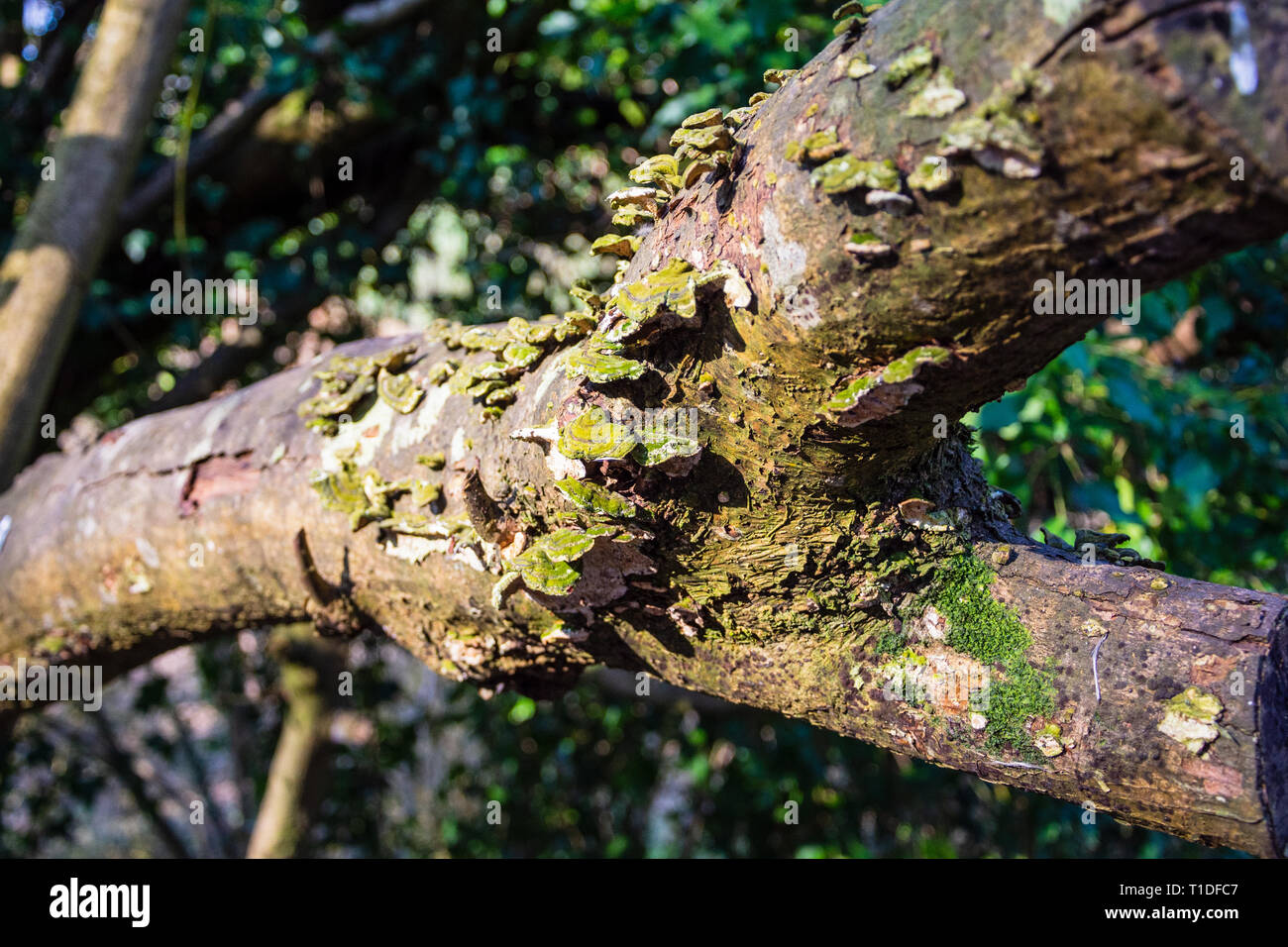A branch previously cut from a tree with bracket fungi (probably Trametes versicolor) of green and yellow colouring growing from the decaying bark Stock Photo
