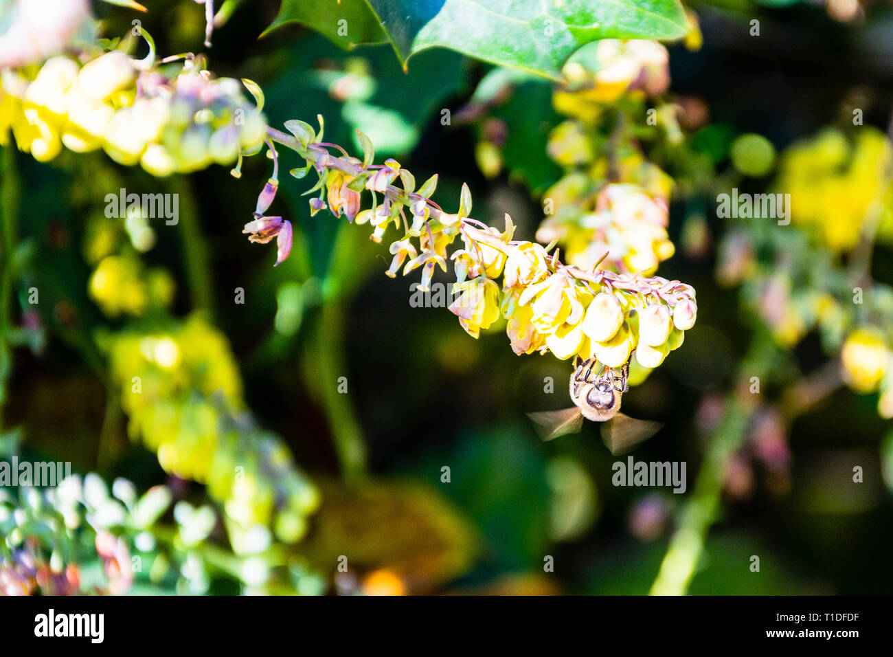 Yellow Mahonia flowers with an early spring honey bee Apis mellifera feeding with wings blurred from movement Stock Photo