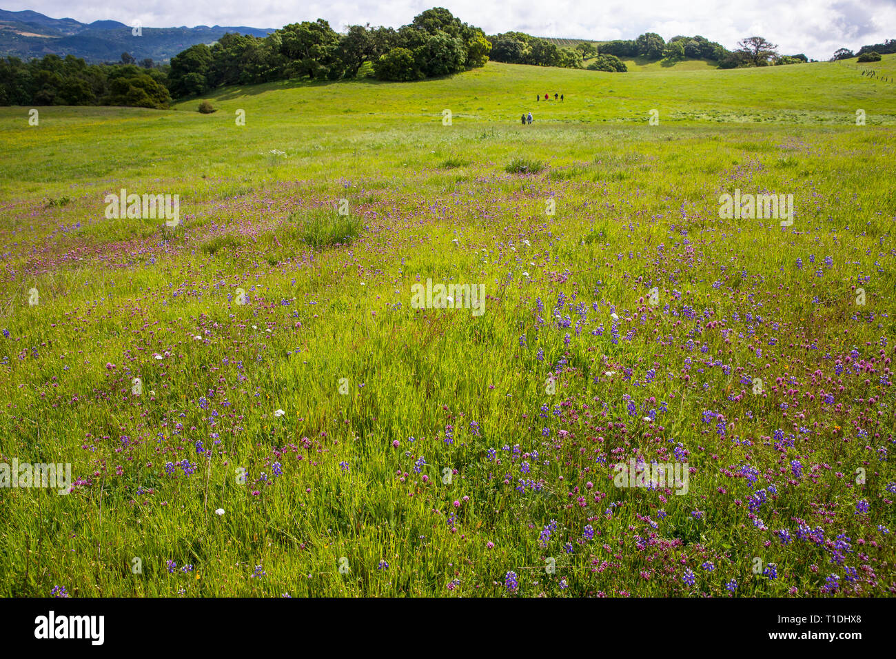Field of Douglas' Lupine, Red Owl's Clover, and other wildflowers during a superbloom and people walking in the distance, Sonoma, California - Stock Image