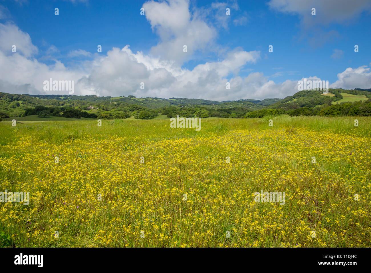 Yellow spring wildflowers in meadow during superbloom at Van Hoosear Wildflower Preserve, Sonoma, CA - Stock Image