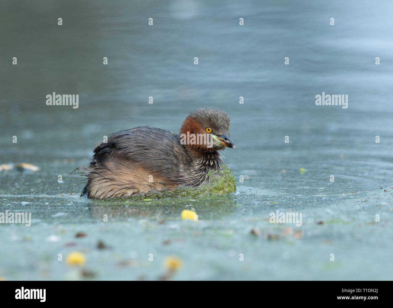 Little Grebe at Bharatpur Bird Sanctuary,Rajasthan,India - Stock Image
