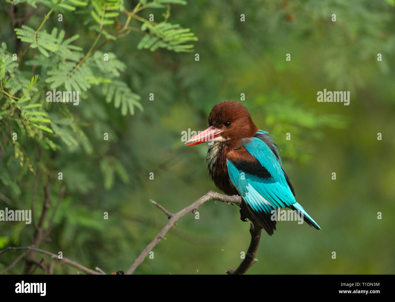 White-Breasted Kingfisher sitting on a perch at Bharatpur Bird Sanctuary,Rajasthan,India - Stock Image