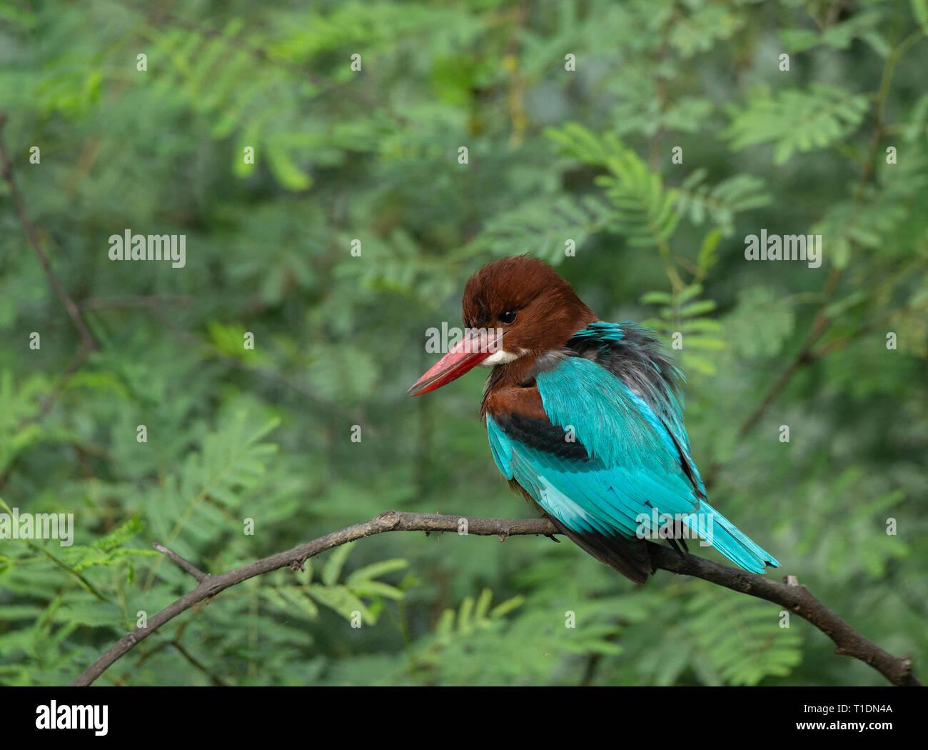 White-Breasted Kingfisher at Bharatpur Bird Sanctuary,Rajasthan,India - Stock Image