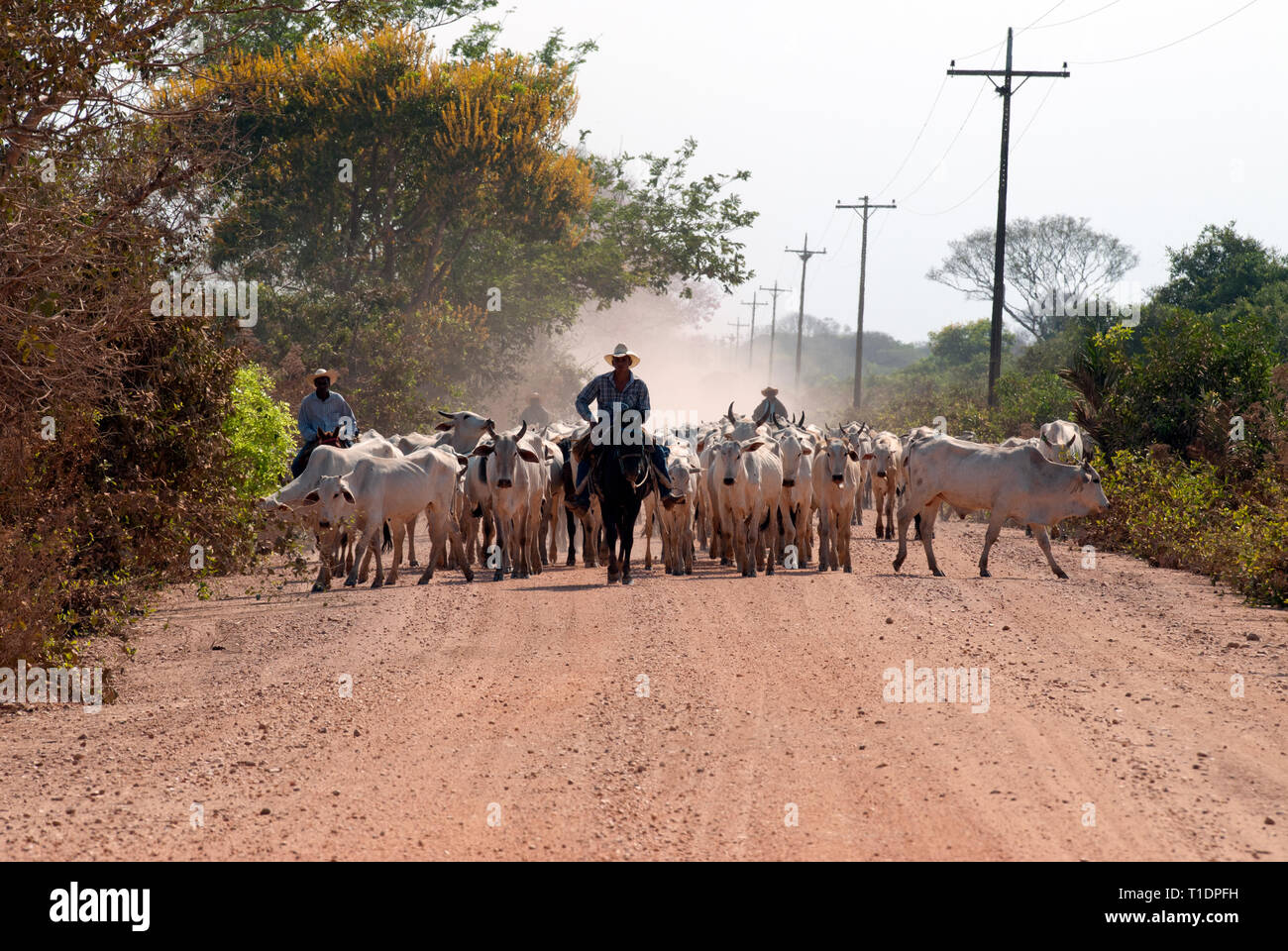 Brazilian cowboys (Gauchos or Vaqueiros) herding cattle down a dirt road in the Pantanal of southern Brazil - Stock Image