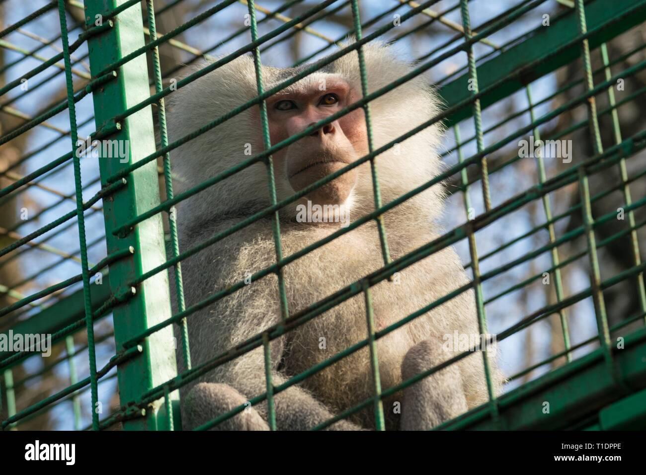 sad monkey in cage - macaque monkey held captive Stock Photo