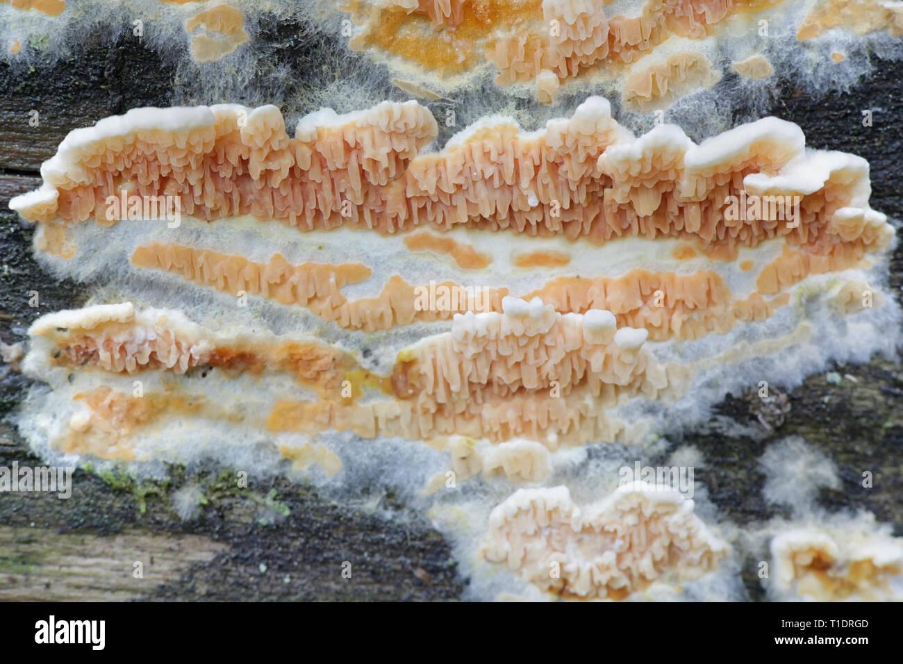 Warped orange crust fungus, Leucogyrophana mollusca Stock Photo