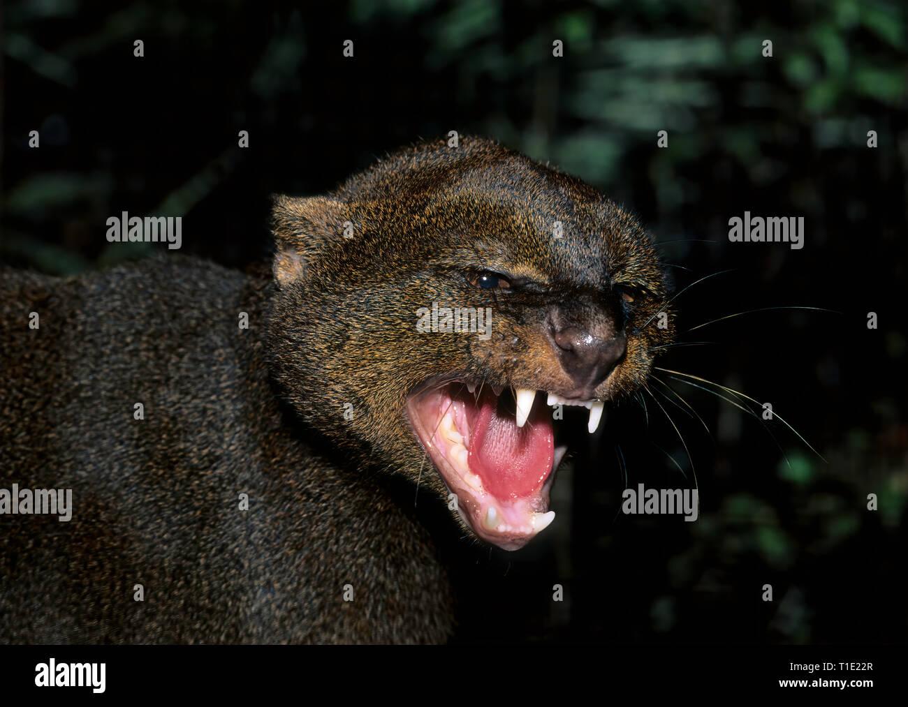 Snarling jaguarundi (Felis yagouroundi); captive - Stock Image