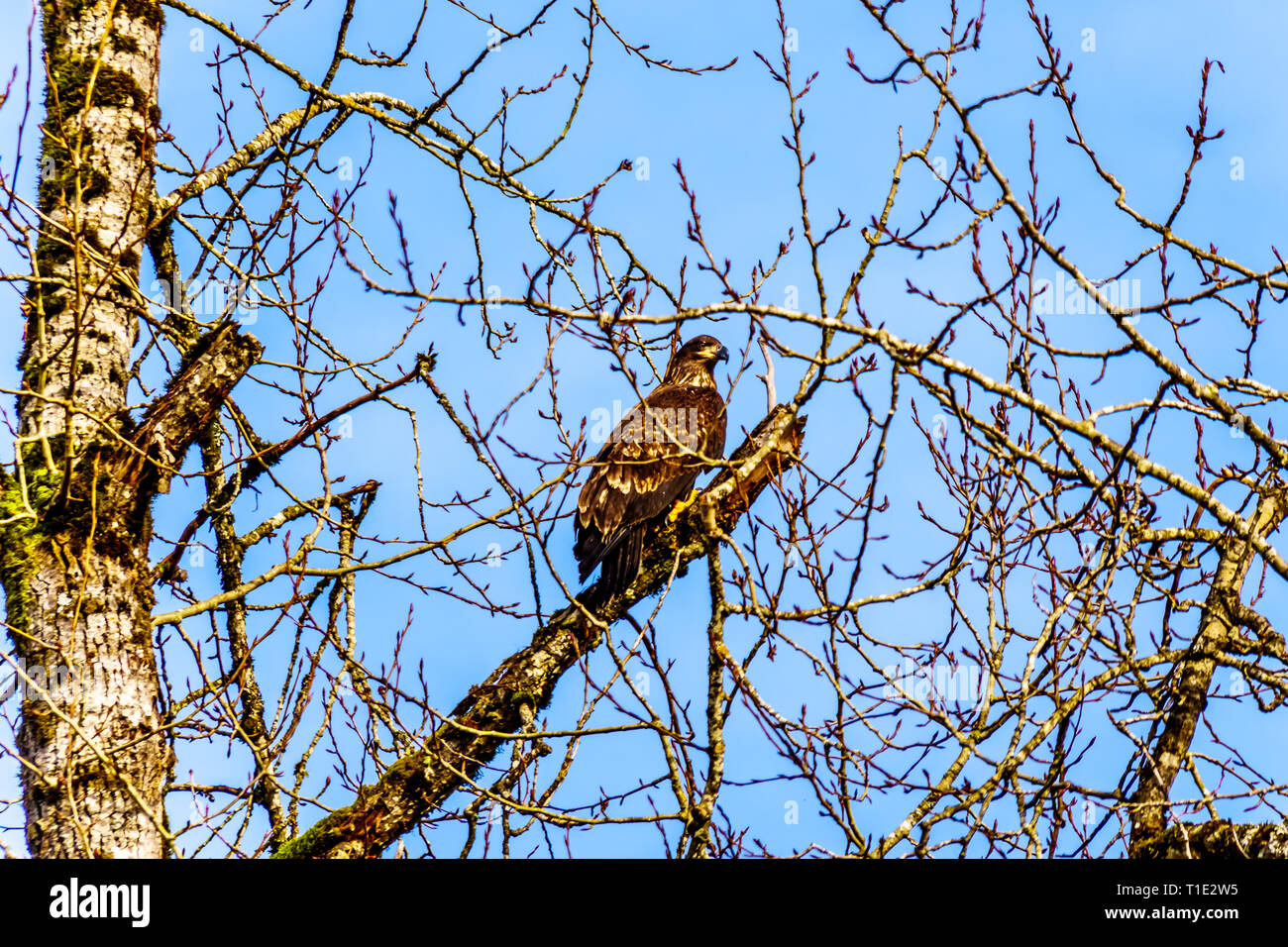 Young Bald Eagle in a tree watching for spawning salmon in the Stave River downstream of the Ruskin Dam at Hayward Lake near Mission, BC, Canada - Stock Image