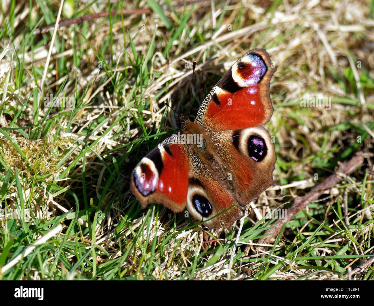Peacock Butterflies, UK - Stock Image