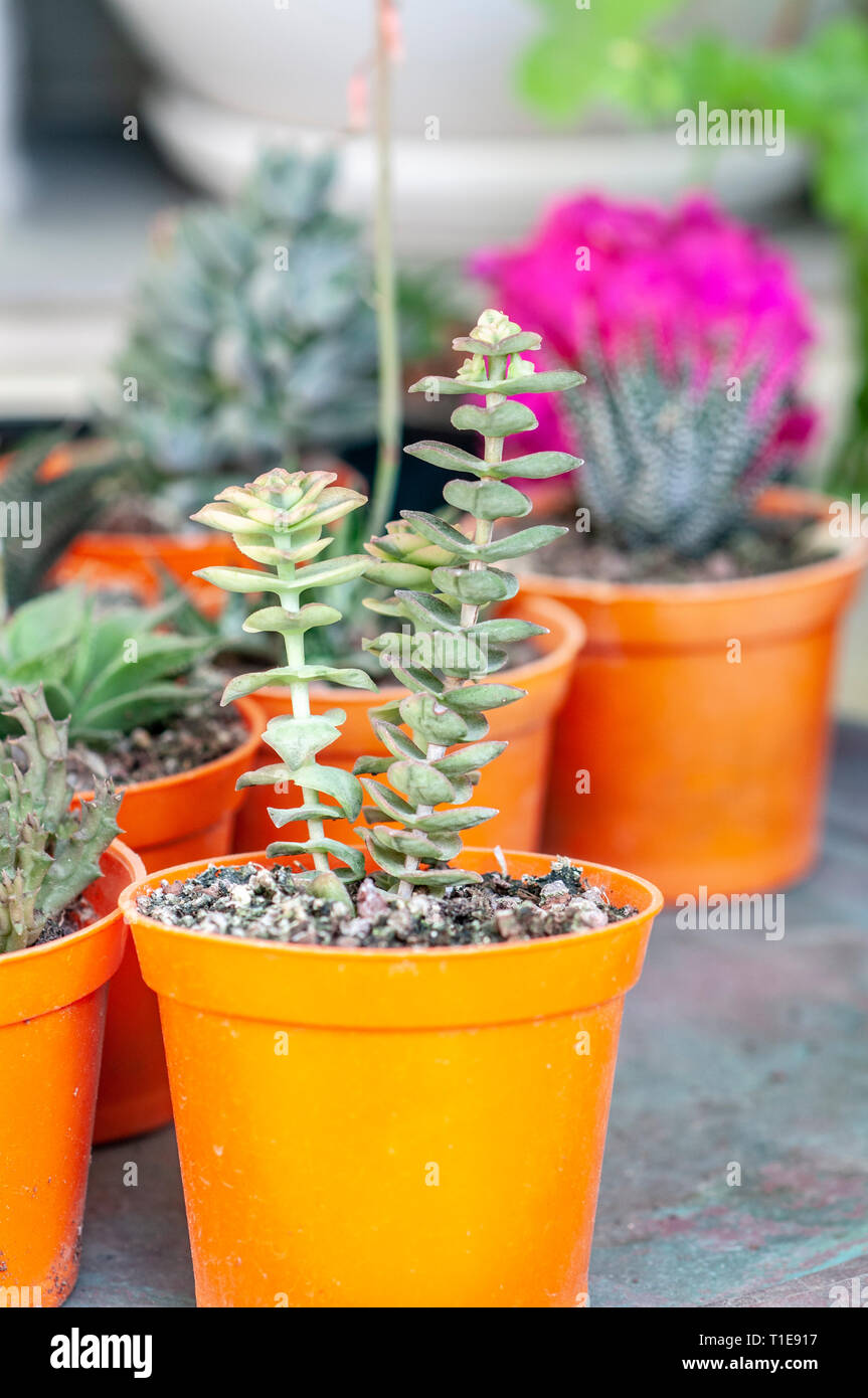 Display of potted succulent house plants Stock Photo