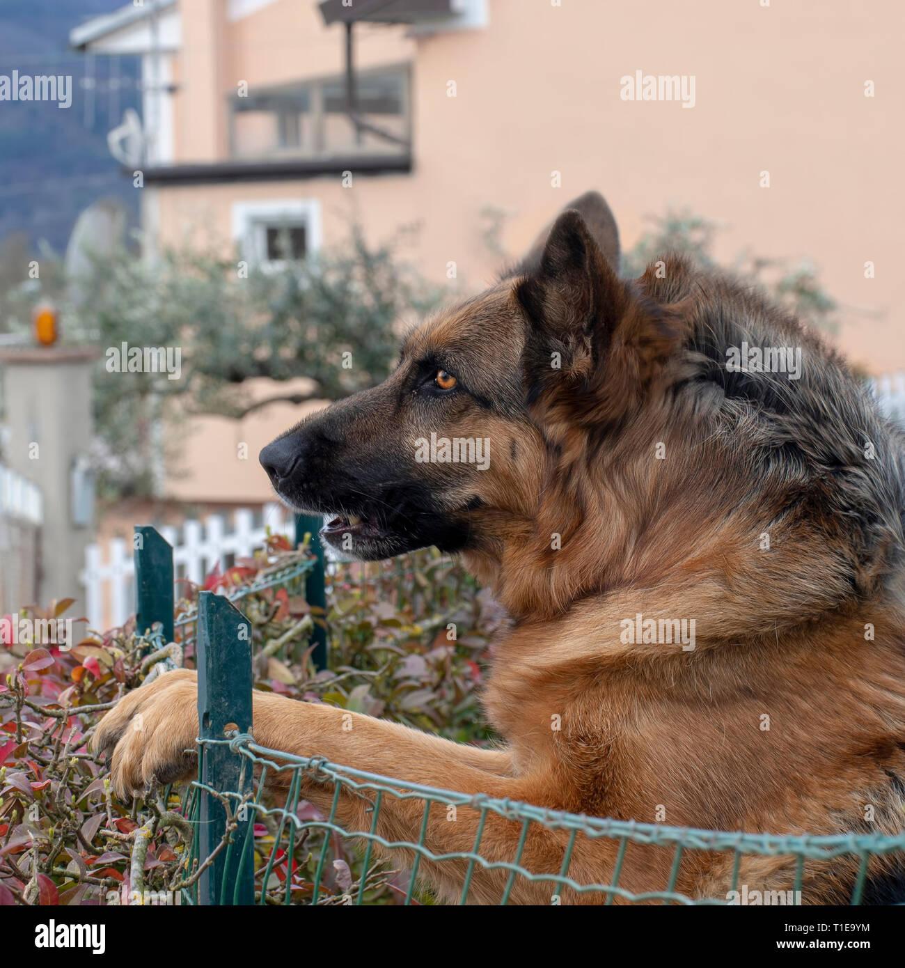 Head shot of German Shepherd or Alsatian dog outdoors in garden. Beautiful dog. - Stock Image
