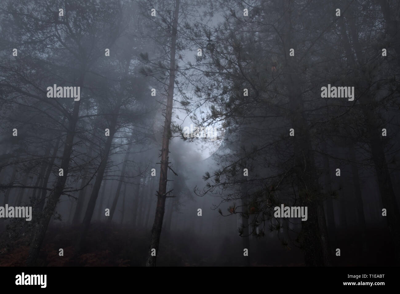 Full moon rising in a mysty dense woods at dusk or night - Stock Image
