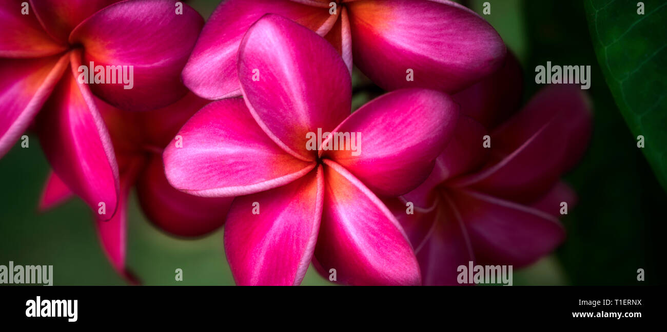 Close up of Frangipani or red Plumeria flowers. Kauai, Hawaii - Stock Image