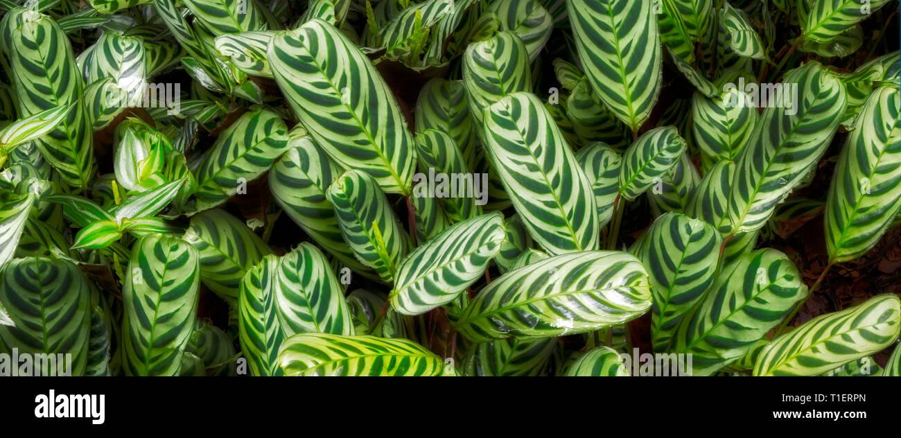 Close up of Prayer Plant (Maranta sp.) Hawaii Tropical Botanical Gardens, The Big Island, Hawaii - Stock Image