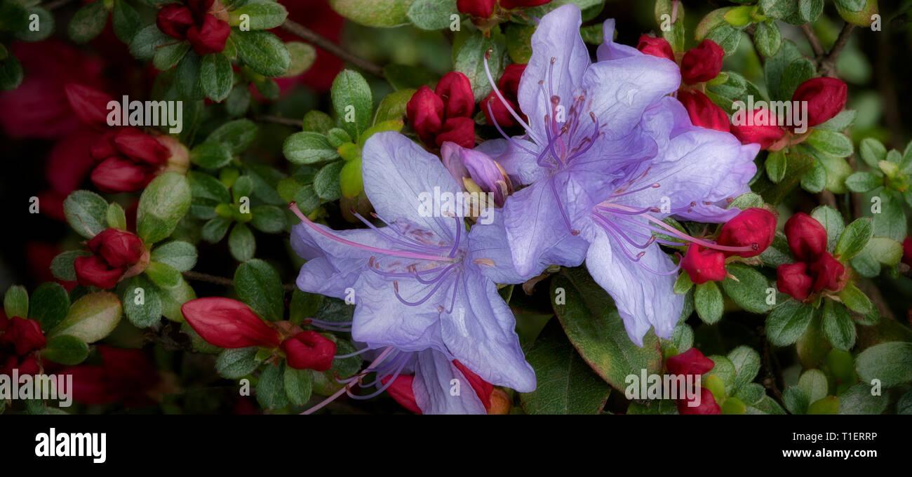Blue and red azaleas. Oregon - Stock Image