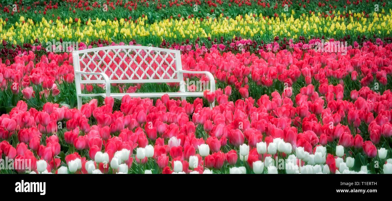 Bench in tulip field. Wooden Shoe Tulip Farm. Woodburn, Oregon - Stock Image