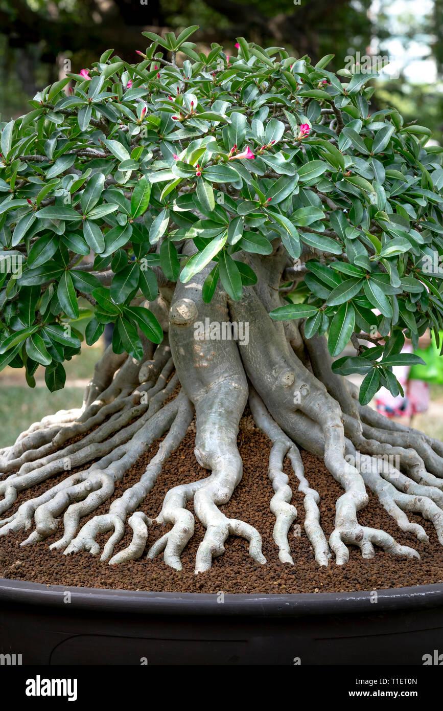 Adenium Obesum Bonsai Tree With Unique Beam Root Set Stock Photo Alamy