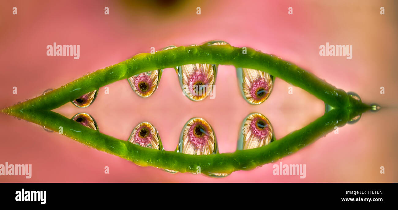 Gerbera flower refracted in water drops. Oregon - Stock Image