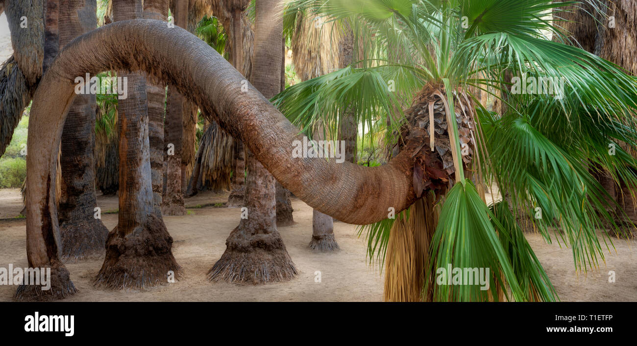 Unique twisted California Fan Palm tree. Palm Canyon. Indian Canyons, Palm Springs, California - Stock Image