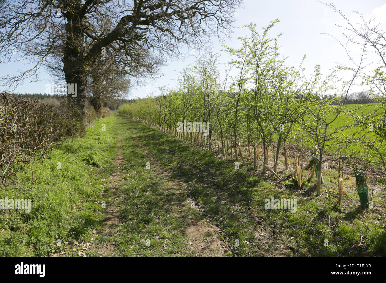 A newly planted hedgerow in Worcestershire, England, UK. Stock Photo
