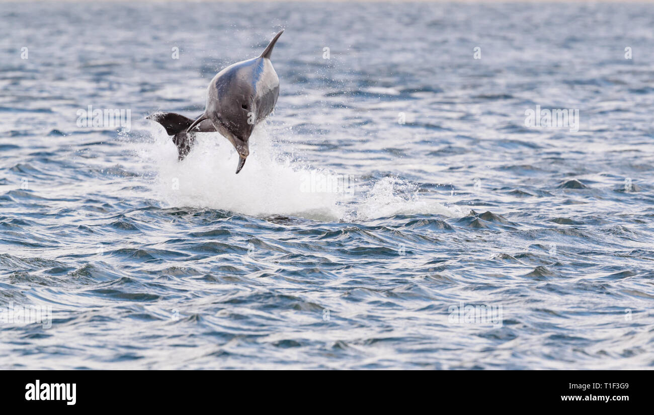 wild dolphins breaching and jumping out of water in Scotland Moray firth while hunting for atlantic salmon migrating to spawning ground. - Stock Image