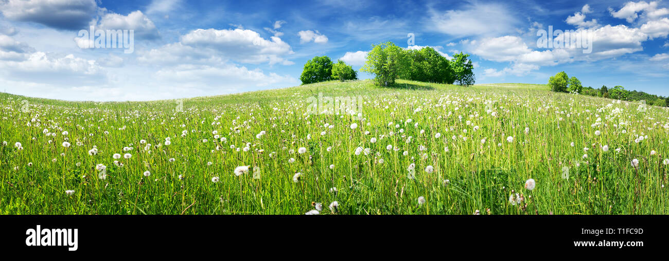 Field with dandelions and blue sky - Stock Image