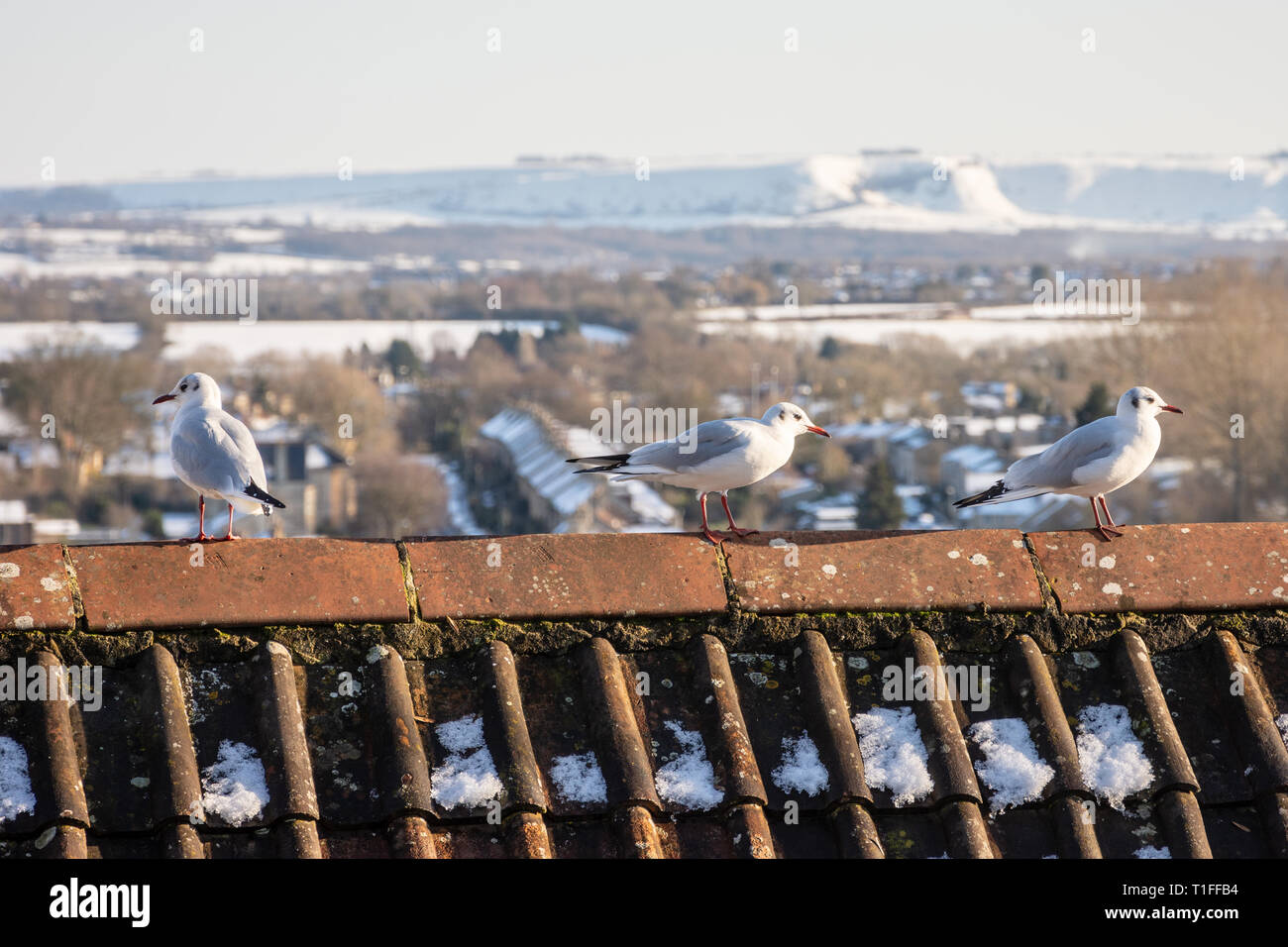 A red tile roof with 3 black headed gulls (Chroicocephalus ridibundus) in winter plumage with a snowy wintery wiltshire countryside background Stock Photo