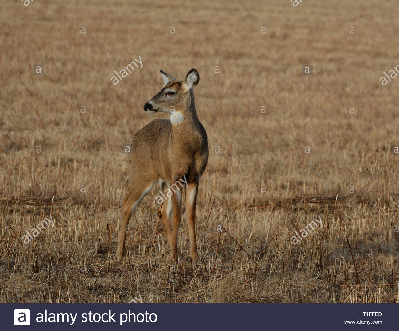 White Tailed Deer - Stock Image