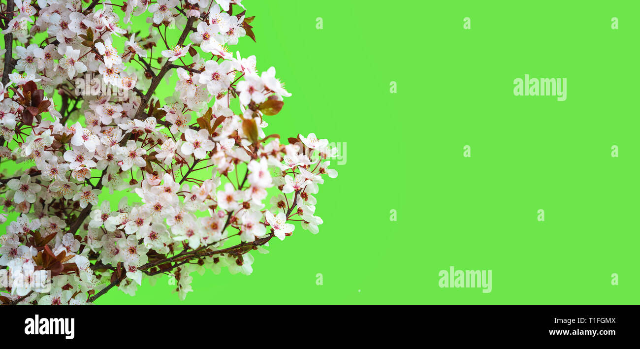 Beautiful cherry blossom on green background. - Stock Image