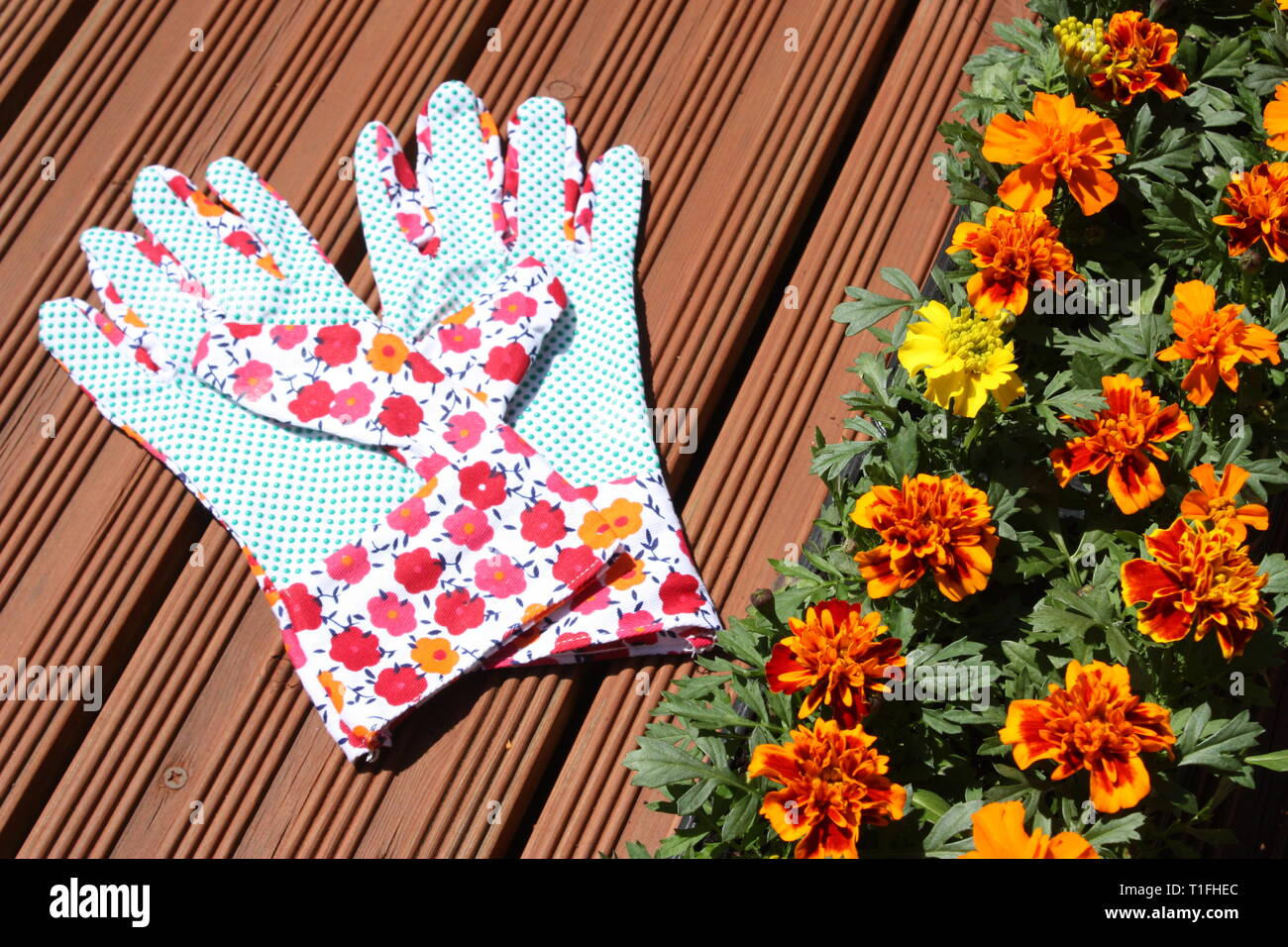 Marigold flowers with hand gloves Stock Photo