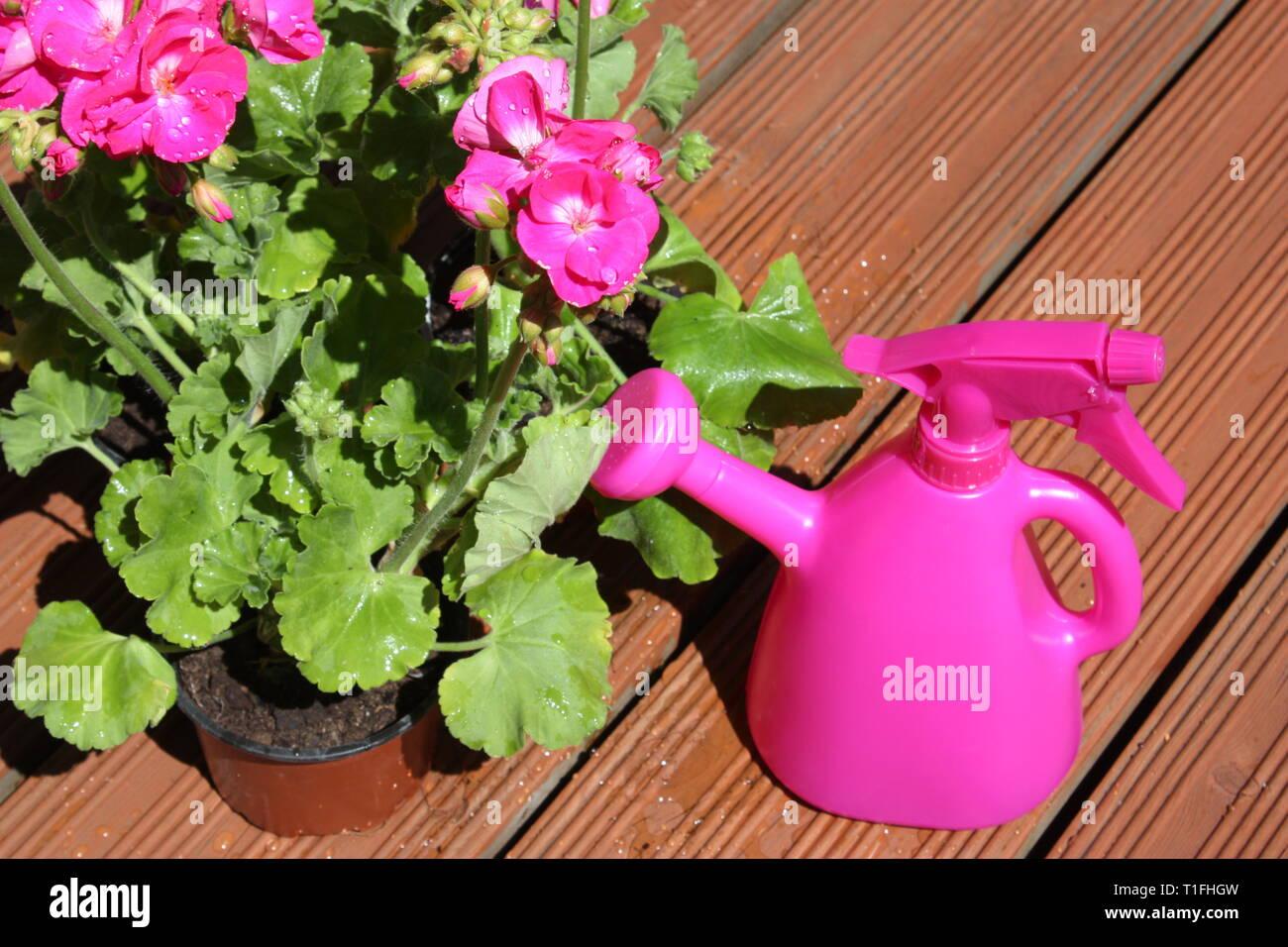 Pink geranium flowering plants with garden tools Stock Photo