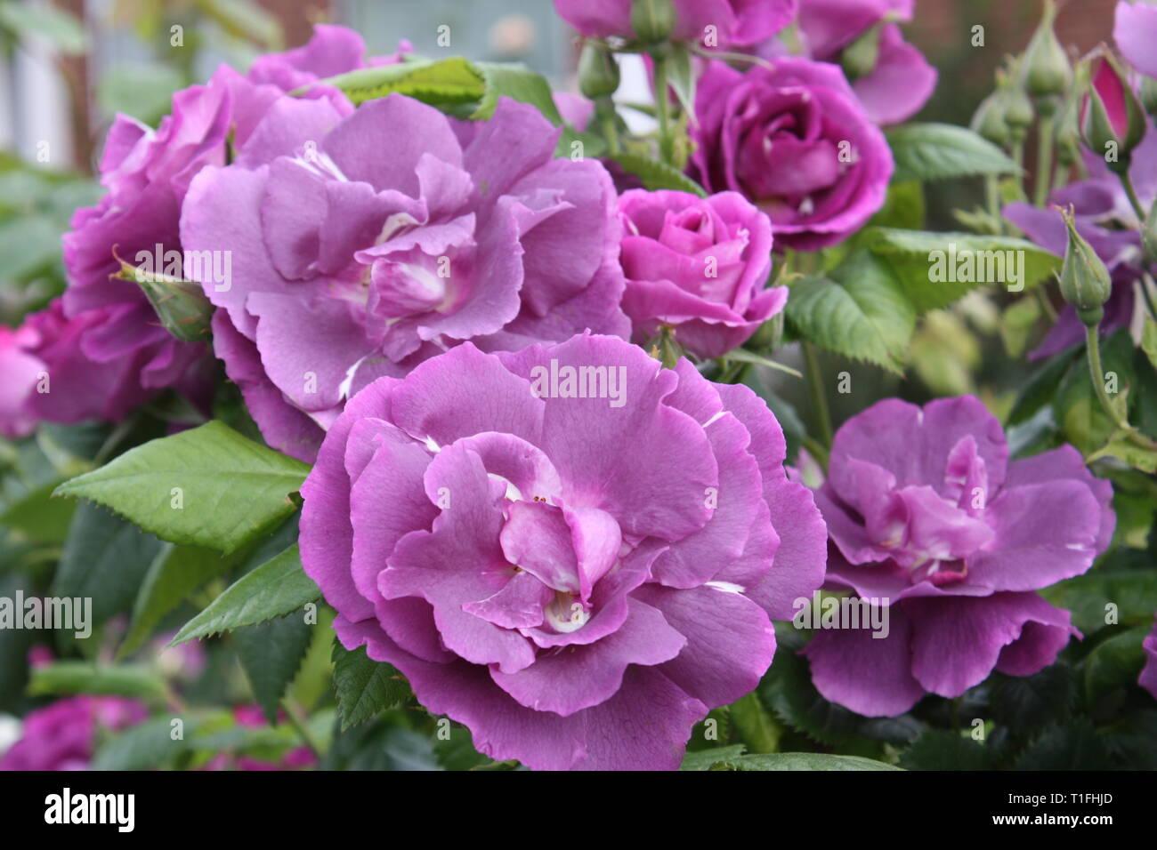 Purple roses Stock Photo