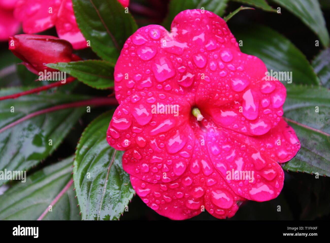 Pink impatien flowers Stock Photo
