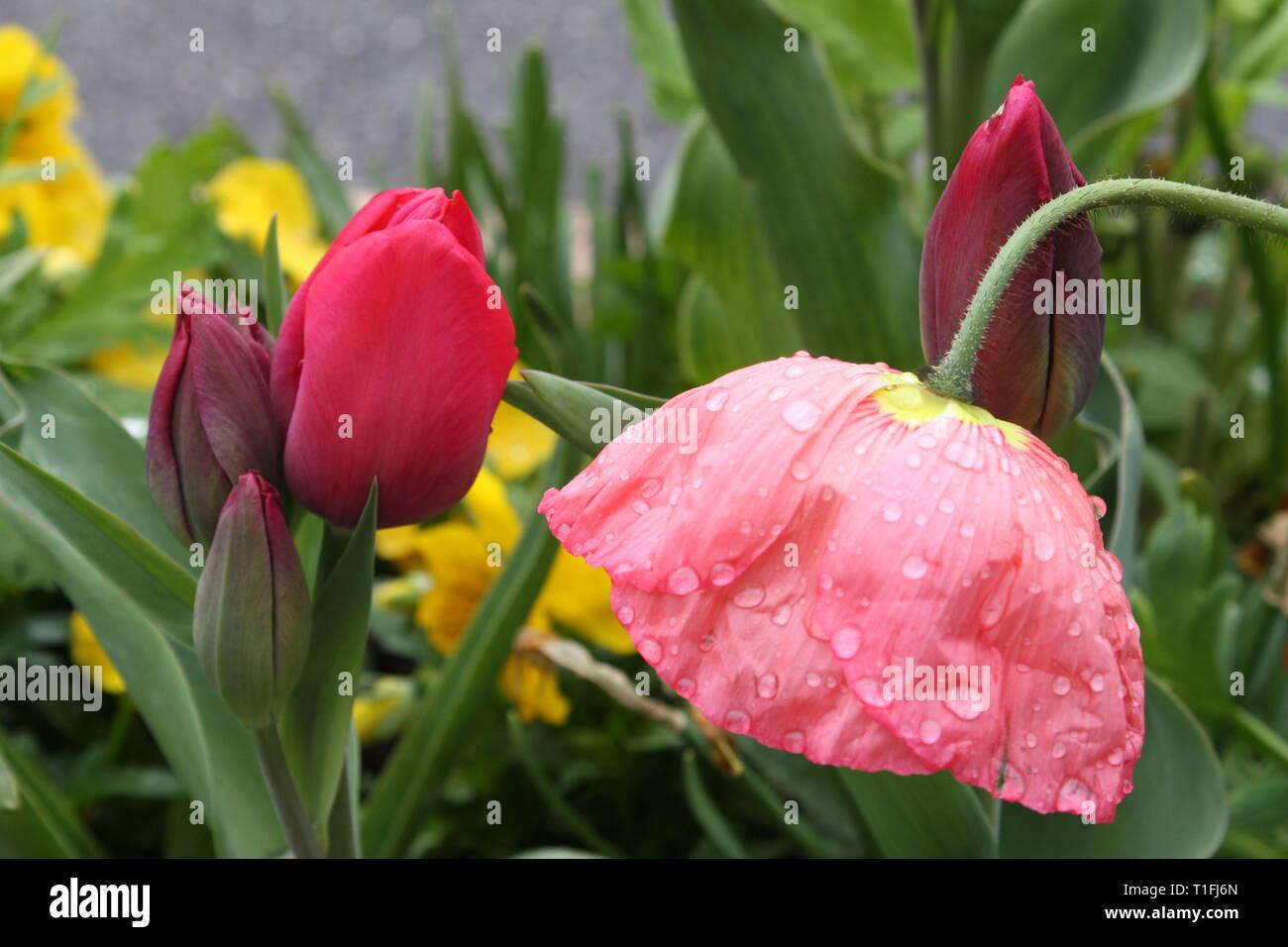 Tulips flowers in spring season Stock Photo
