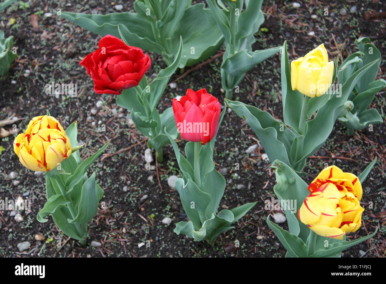 Tulips flowers in spring season Stock Photo