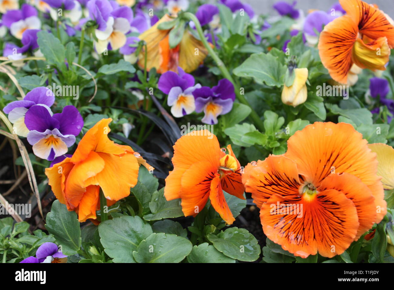 Pansy flowers in spring season Stock Photo