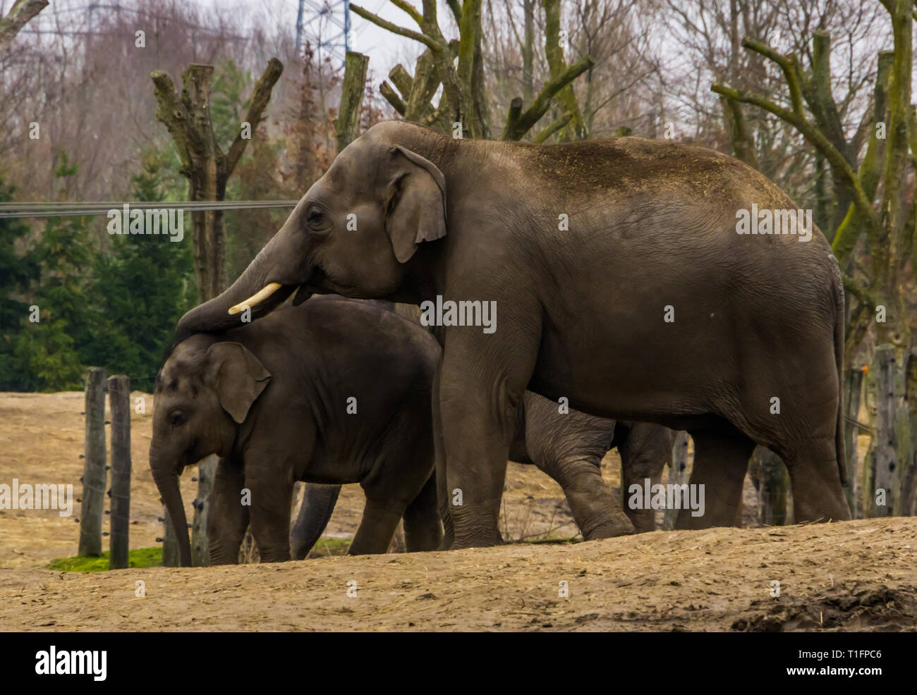 male Asian elephant putting its trunk over its young elephant, animal family portrait of a father and kid, Endangered animals from Asia - Stock Image