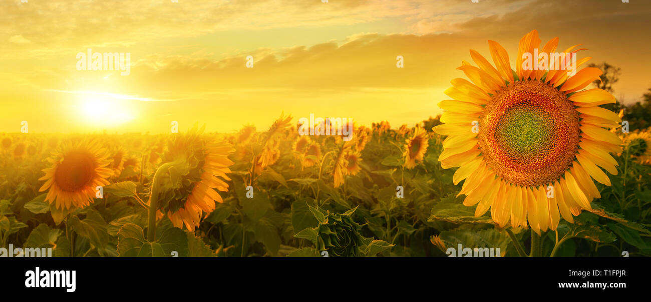 Early morning field of sunflowers under rising sun - Stock Image