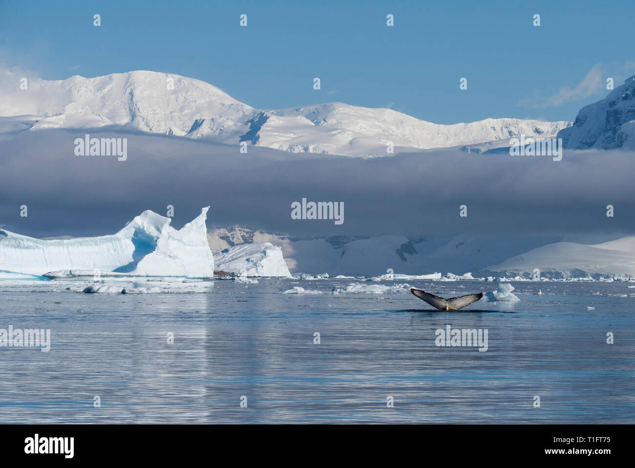 Antarctica. Cuverville Island located within the Errera Channel between Ronge Island and the Arctowski Peninsula. Humpback whales. Stock Photo