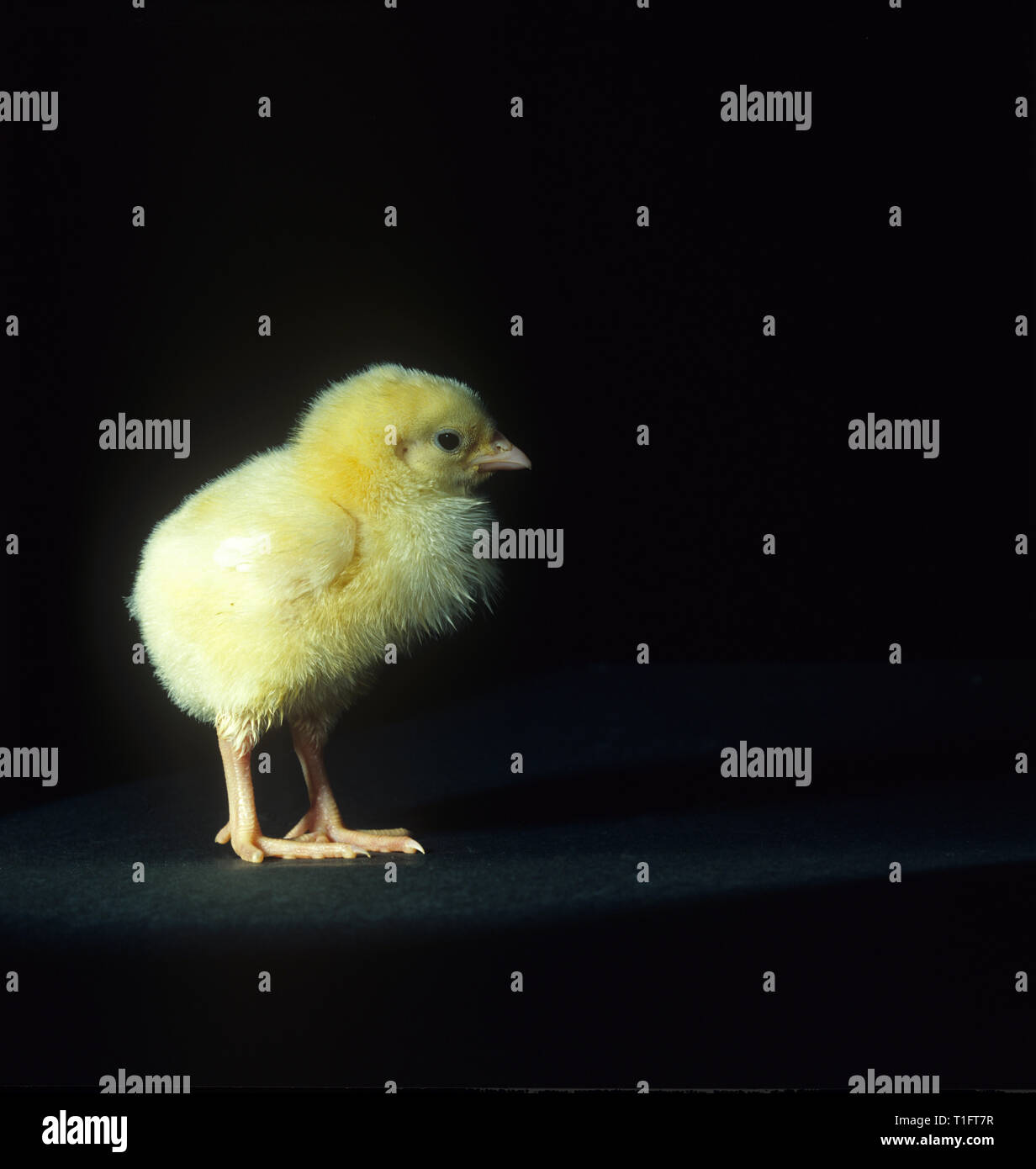 A 'day old' chick against a black background - Stock Image