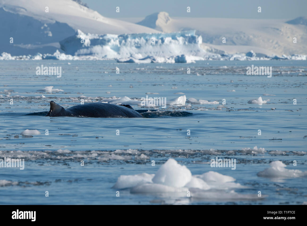 Antarctica. Cuverville Island located within the Errera Channel between Ronge Island and the Arctowski Peninsula. Humpback whale. Stock Photo