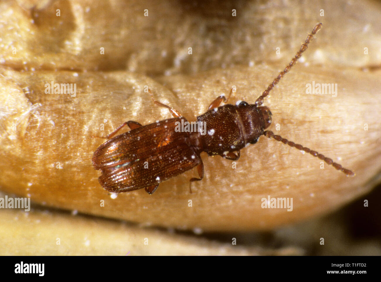 Rust red or flat grain beetle (Cryptolestes ferrugineus) a cereal storage pest insect on wheat grain - Stock Image
