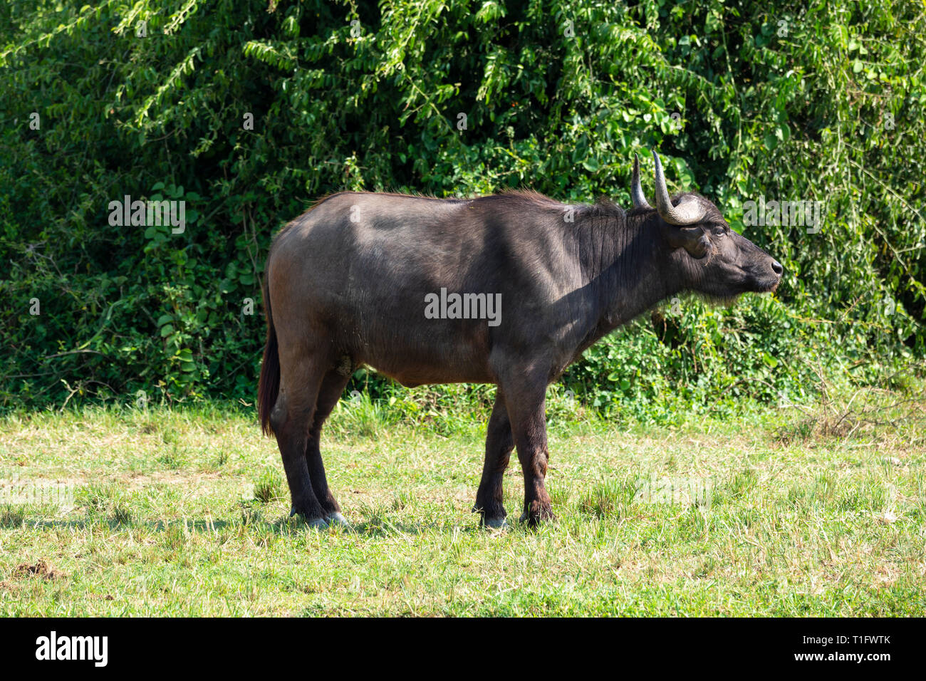 Solitary African buffalo (Syncerus caffer) standing on bank of Kazinga Channel within Queen Elizabeth National Park, South West Uganda, East Africa - Stock Image